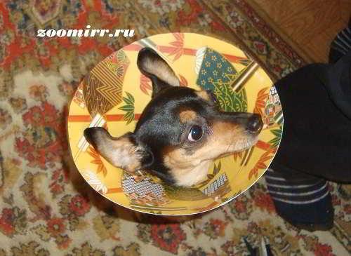 Защитный воротник для собак своими руками