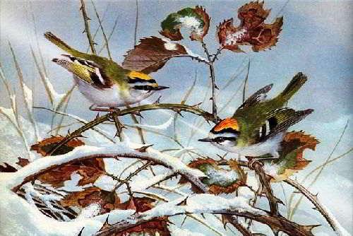 zimovka ptits