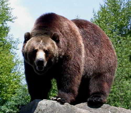 medved grizli