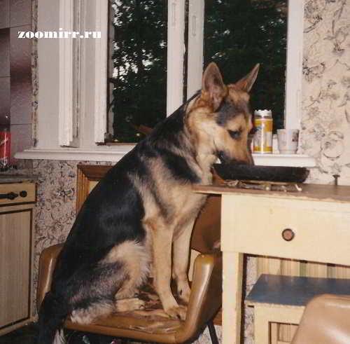 Большая собака в квартире
