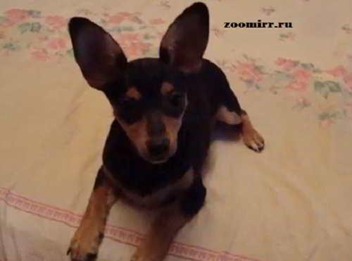 Перелом у собак мелких пород