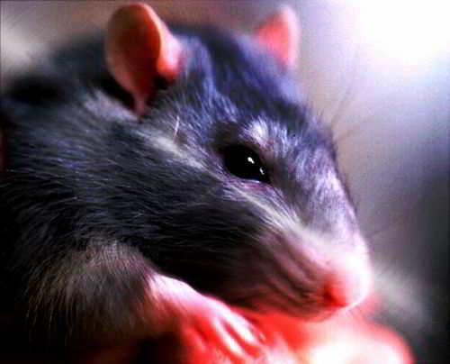 Как назвать крысу