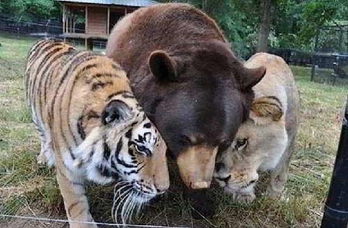 Шер-Хан,Балу и Лео