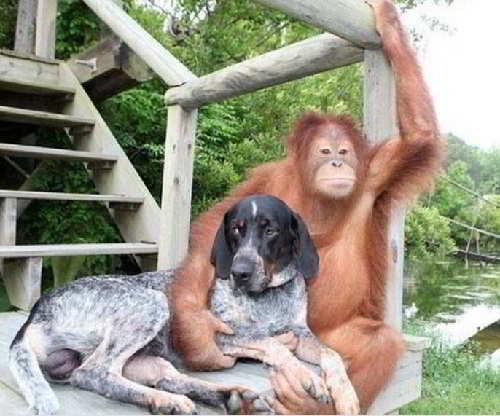 Собака Роско и орангутанг Сурия