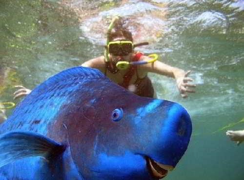 Синяя рыба попугай