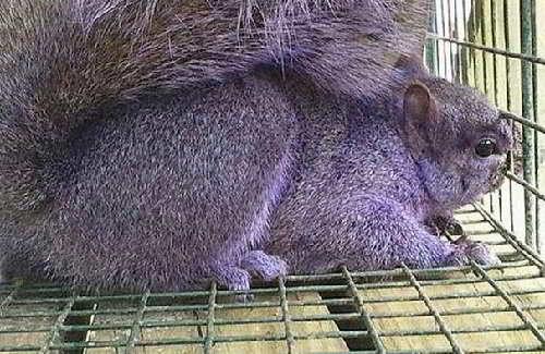 Фиолетовая белка