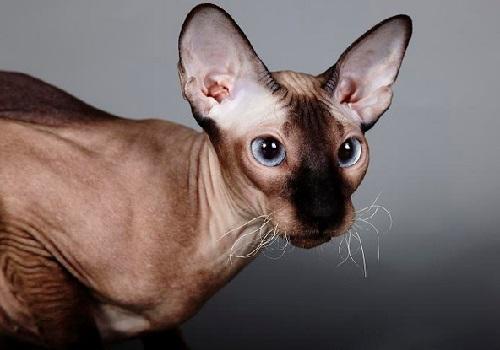 Русские породы кошек