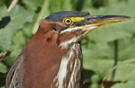 Чем слышат птицы