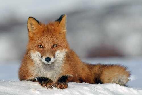 Обыкновенная или рыжая лисица