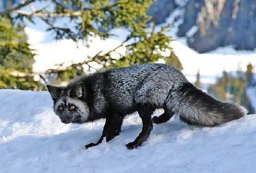 Черно-бурая лисица