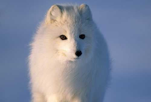 Песец или полярная лисица