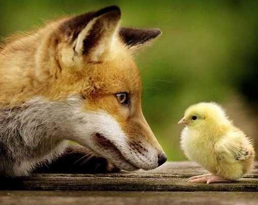 Красивые виды лисиц