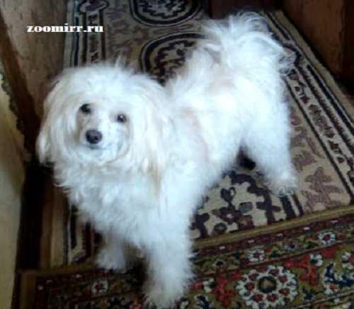 Хохлатая собака пуховая