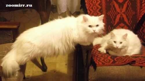 Усы,лапы,хвост-достоинства кошки