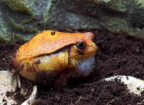 Лягушка помидор