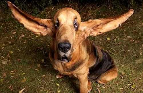 Самые большие уши у собаки