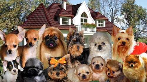 Карманные собачки