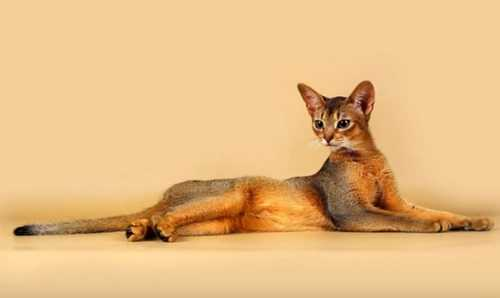 Кошка абиссинка