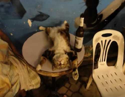 Пьяная кошка