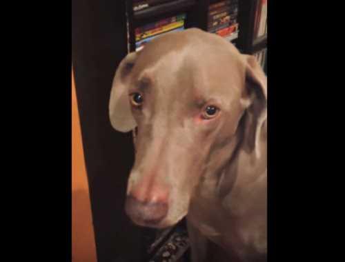 Трусливая собака