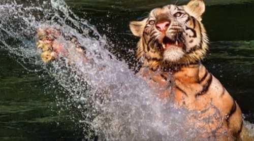 Тигры прекрасные пловцы