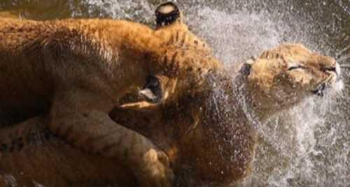 Тигры любят купаться