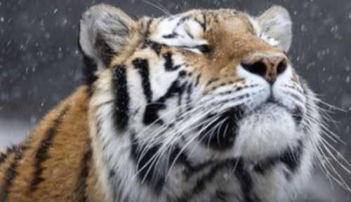 Довольный тигр