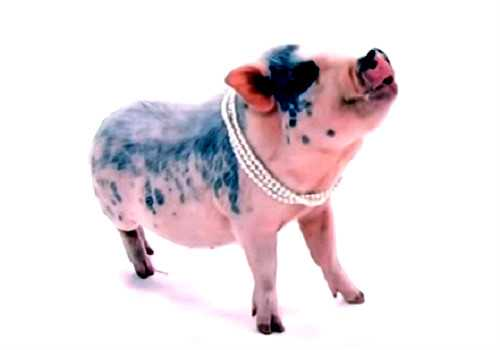 Спасатель свинка
