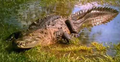 Опасный крокодил?
