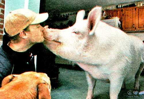 """Свинка """"мини пиг"""""""