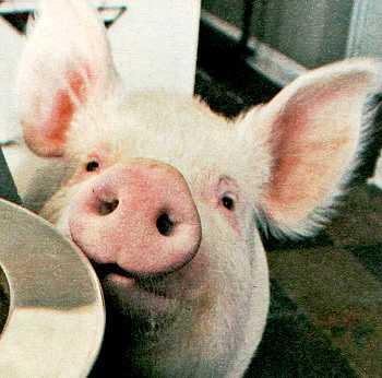 """""""Подложили свинью"""""""
