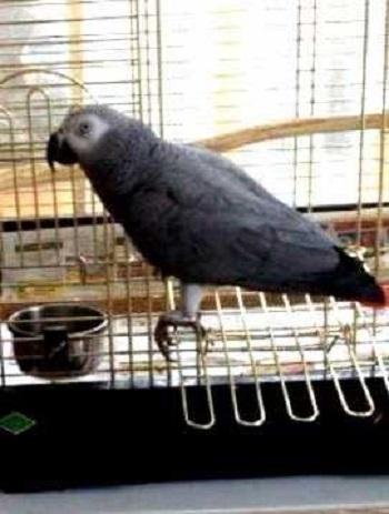 Попугай Сара
