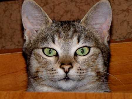 Сколько живет кошка