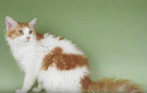 Необычные породы кошек.Лаперм.