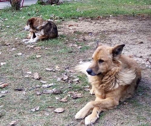 Наши дворовые собаки Мишка и Лиза
