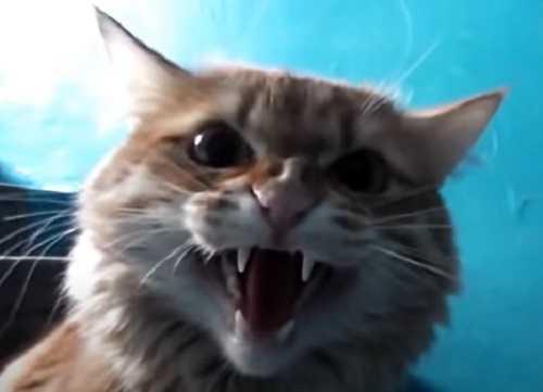 Как воспитать кошку