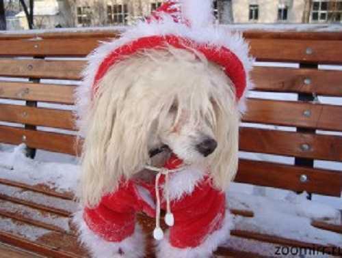 Китайская хохлатая собака Лялечка