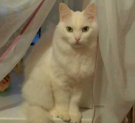 Белые коты плохо слышат